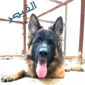 اقوى وارقى واجمل سلالات الكلاب البوليسيه حصريا لدى القيصر