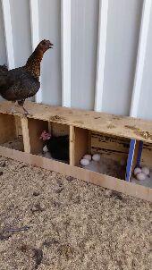 للبيع دجاج بلدي اسود صك