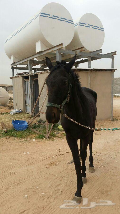 حصان انتاج شعبي للبيع IrDR5pe3U69PtL