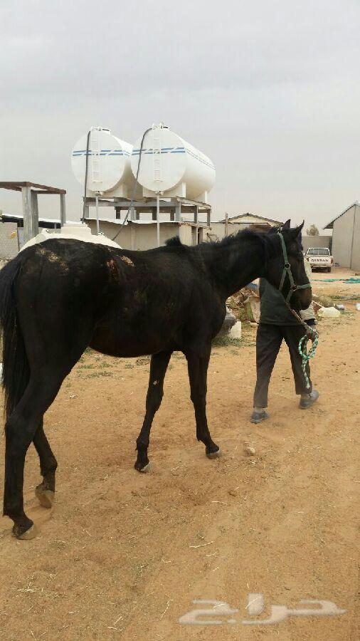 حصان انتاج شعبي للبيع ZTMMzX53wbpIaT