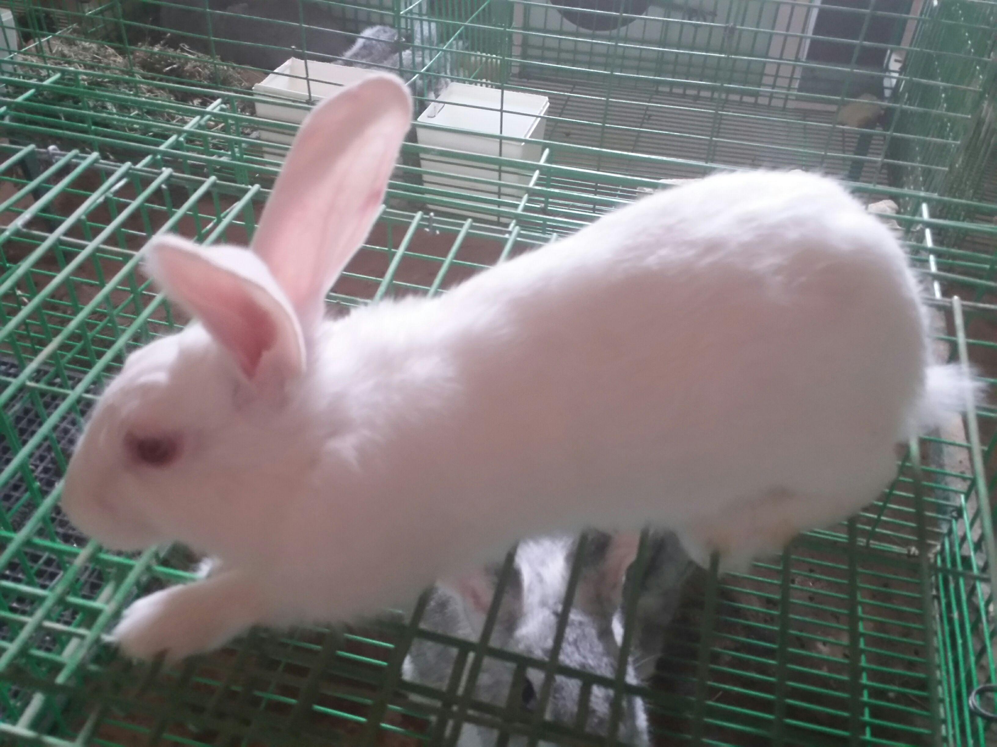 أرانب بلديه وفرنسيه للبيع الرياض NAqoH07AQbDOTK