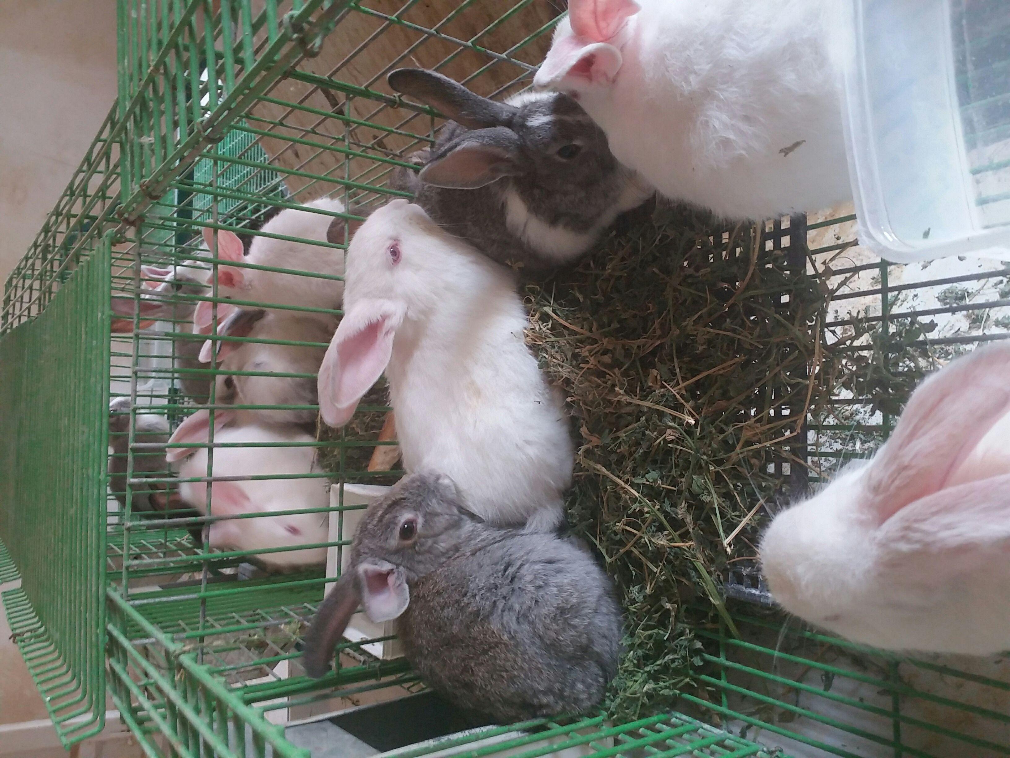 أرانب بلديه وفرنسيه للبيع الرياض ZmDfjpKgqvzg85