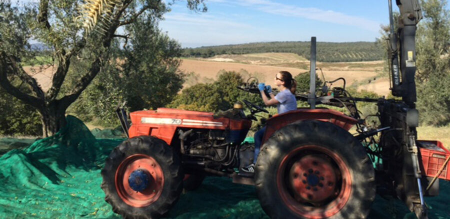 Flo Cornish visits the I&P olive groves