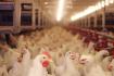 ارتفاع سعر الدجاج ...