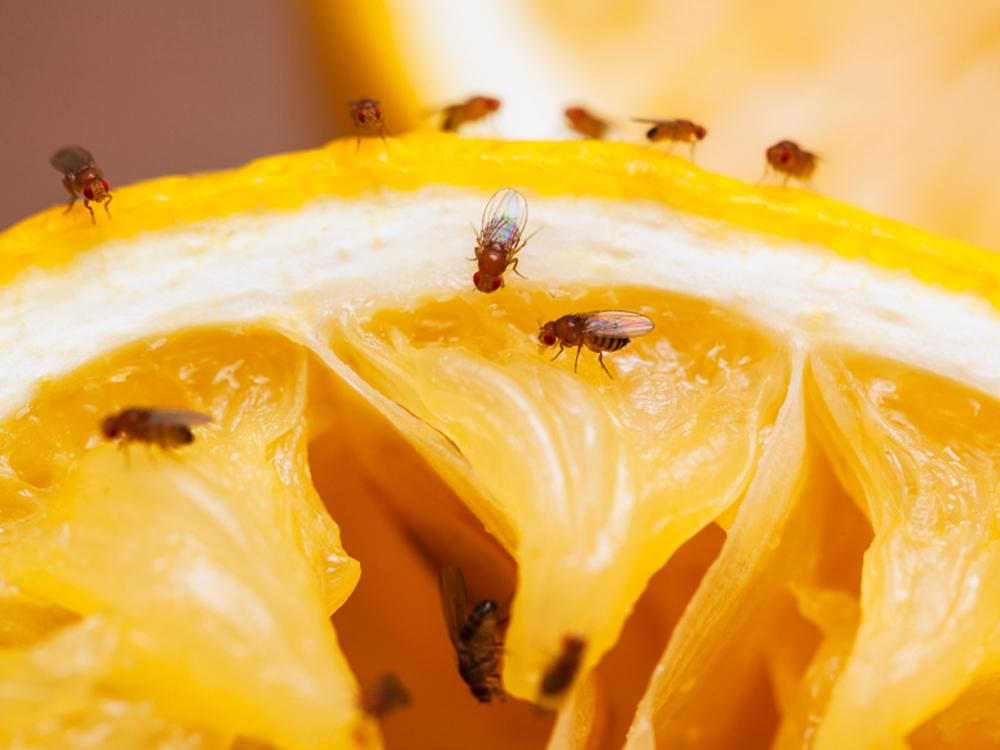 Hoe voorkom en bestrijd ik fruitvliegjes, in beeld