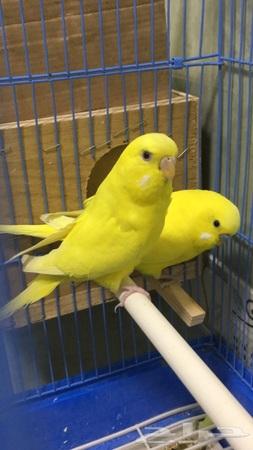 زوج هولندي لاتينو طيور الحب