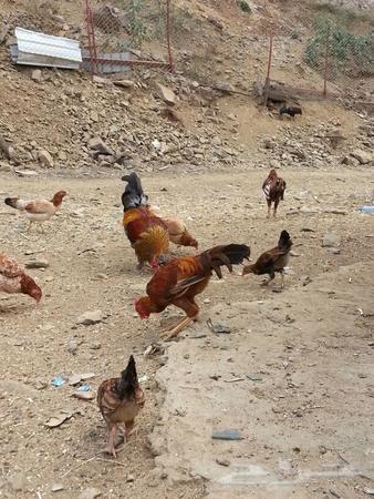 حراج السيارات أبها دجاج بلدي