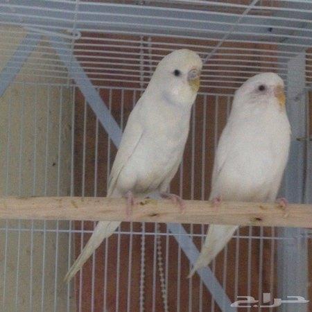 ابيض طيور حب هولندي