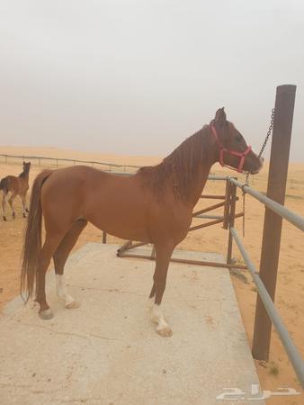 الاتصال اليوم الآخر إلى موقع الحصان العربي الاصيل للبيع Findlocal Drivewayrepair Com