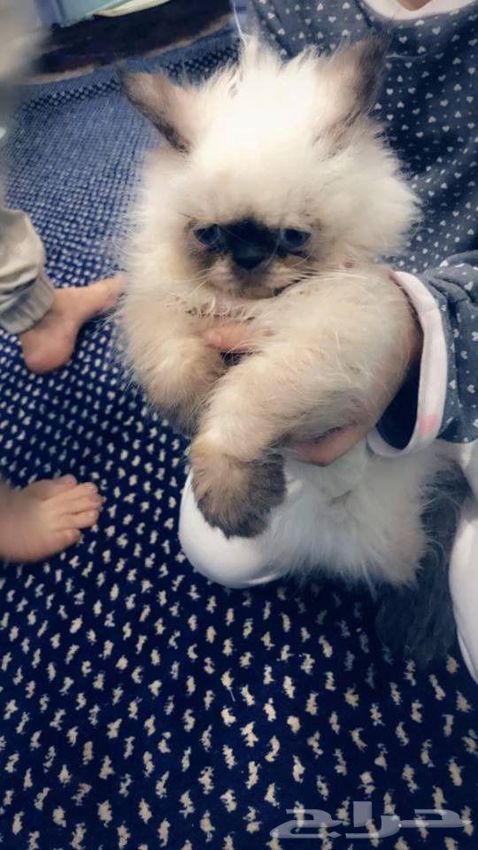قط بيكي فيس عمر 4 شهور