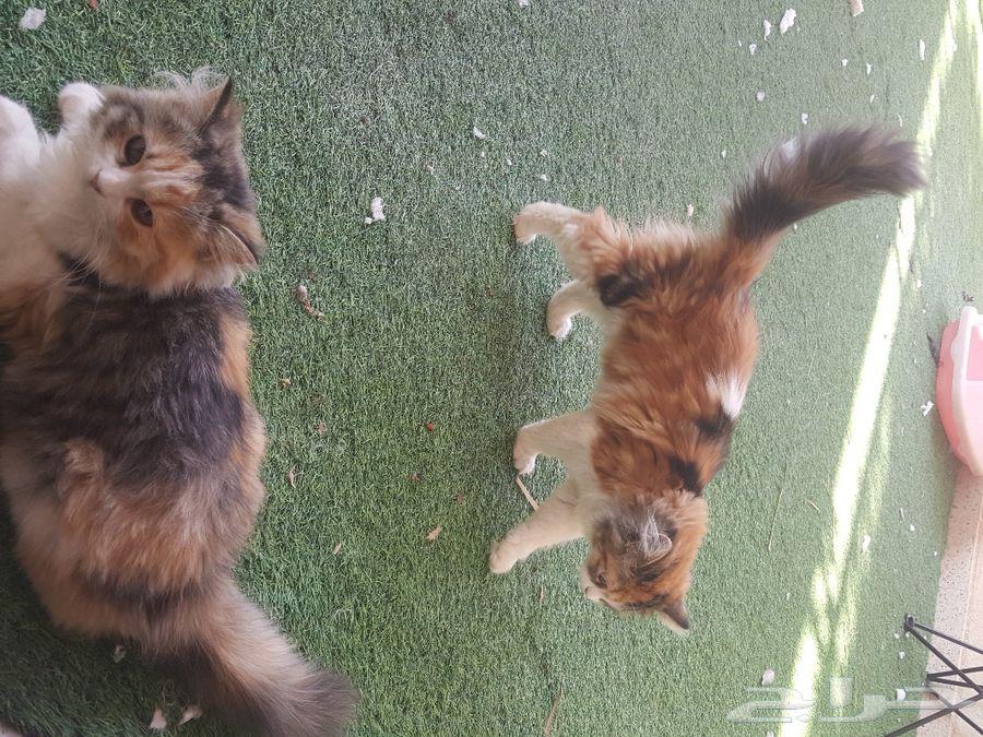 قطط انثى شيرازي وذكر ب600 ريال الواحد