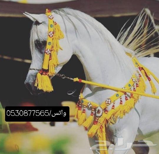 زينة خيل حصان_فرس_مهر_مهره