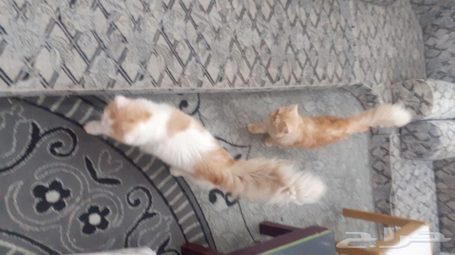 قطط شيرازي عدد 2 عمر 6 شهور