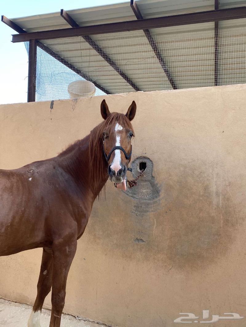 حصان شعبي للبيع هادي