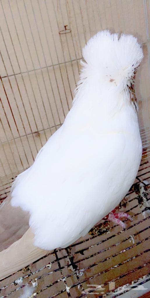 جوز سوداني أمريكي