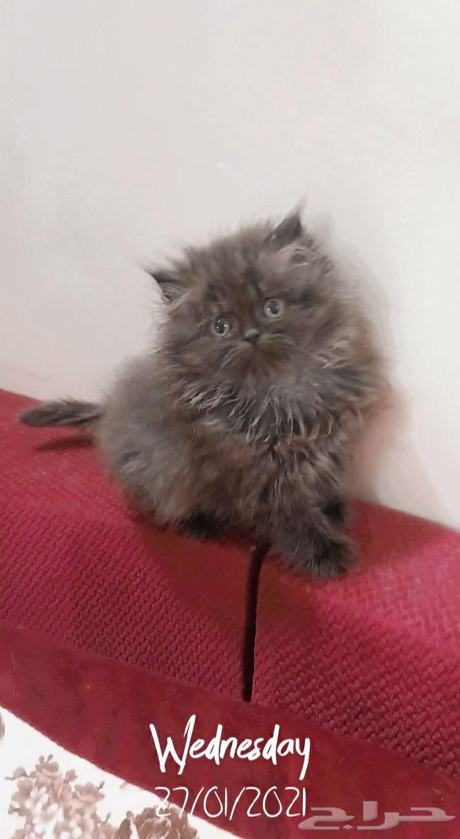 قطة شرازي للتبني
