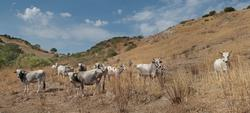 Toro vacche e vitelli di razza Limousine e Podolica - Lotto 1 (Asta 2614)