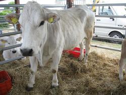 Bovini da carne di razza Marchigiana e Podolica - Lotto  (Asta 2615)