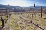 Immagine 6 - Ramo di azienda dedita a coltivazione di vigneti e produzione di vini in Chianti - Lotto 1 (Asta 4598)