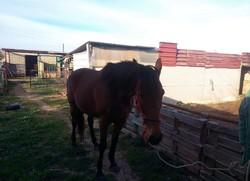 Cavallo fattrice