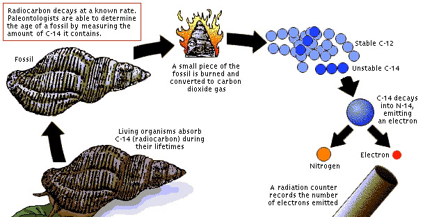 Radiocarbon Hookup Is Used To Estimate The Age Of Fossils