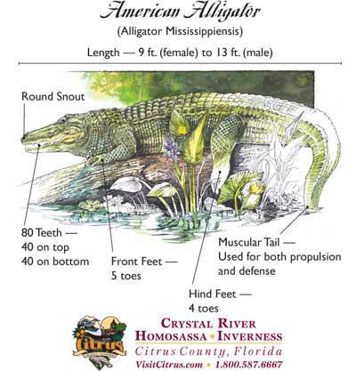 The American alligator by bassgrabber - Infogram