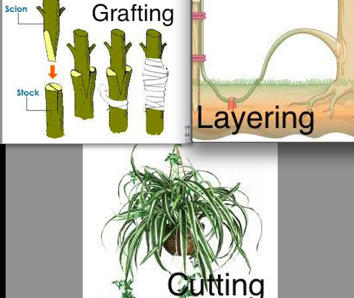Artificial asexual propagation of plant