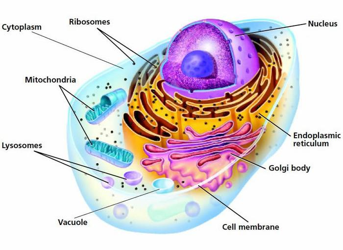 animal cell organelles