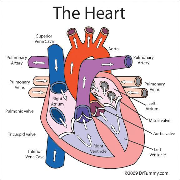 circulatory systemgo with the flow by Jossa McKimmey Infogram – Blood Flow Through the Heart Worksheet