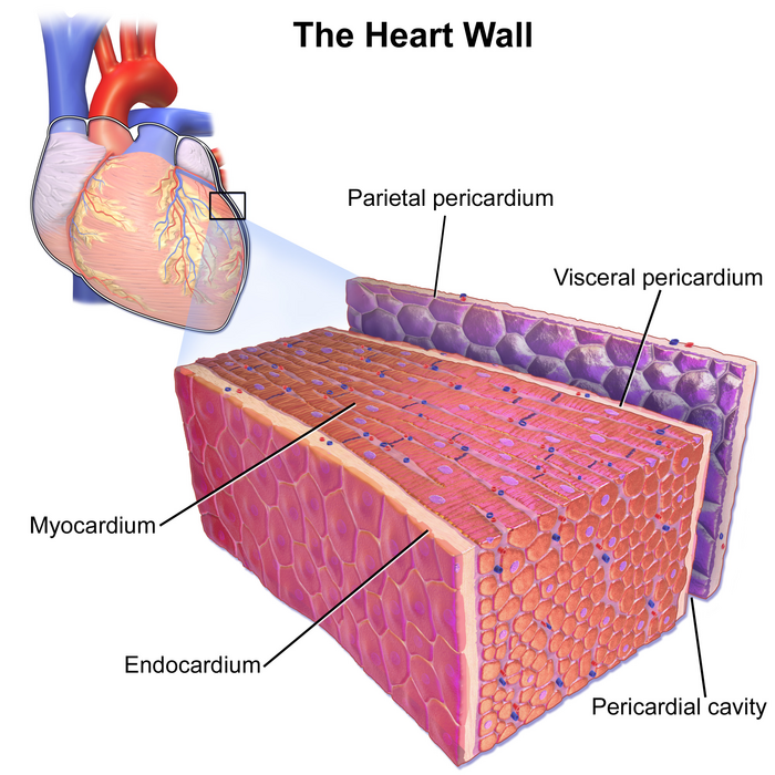 Circulatory System Go With The Flow By Jossa Mckimmey Infogram