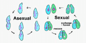 Sexual reproduction diagram