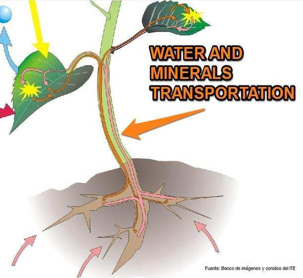 mineral transport in plants