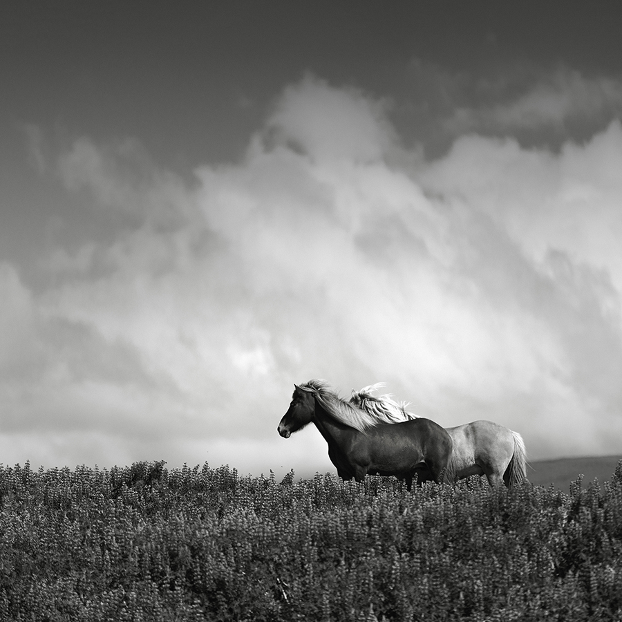 Customer case study hauntingly beautiful black white images of north icelandic horses