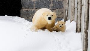 Risultati immagini per orsi nel villaggio di Belushya Guba, nell'arcipelago della Novaja Zemlja sul mar Glaciale Artico