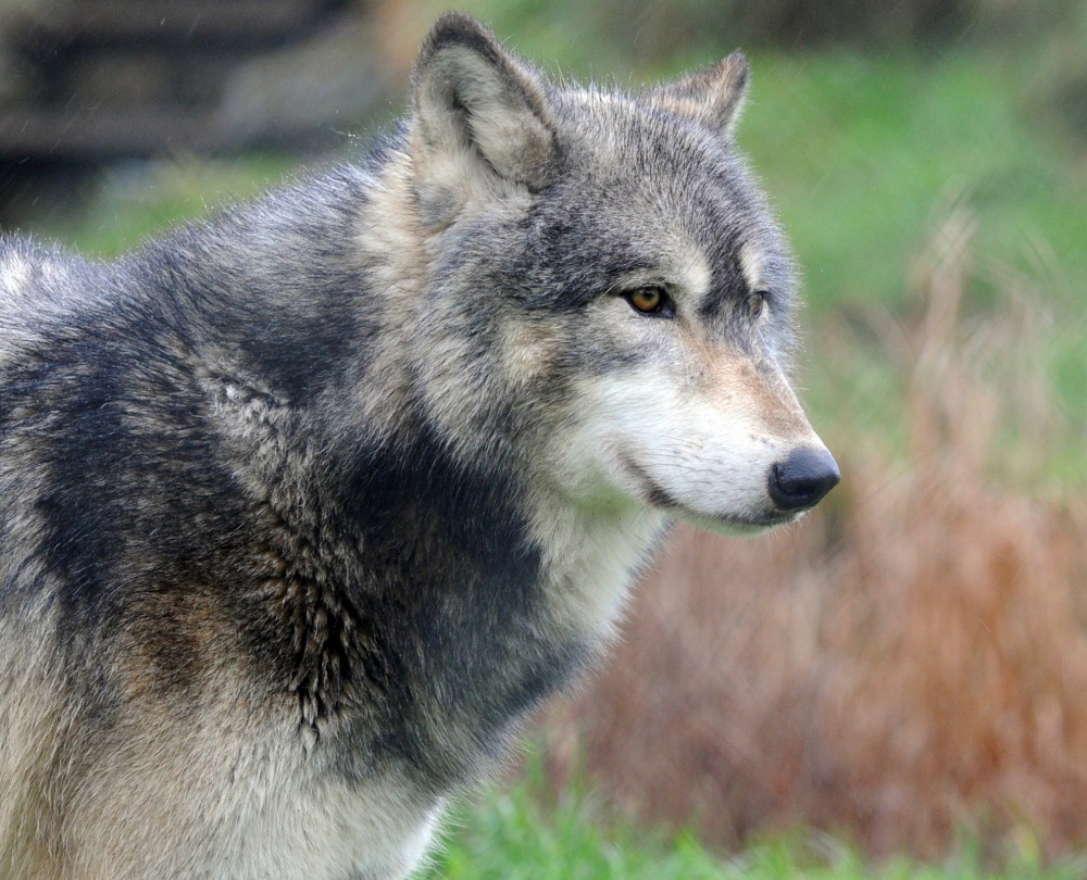 Wolf escapes from wildlife sanctuary near school