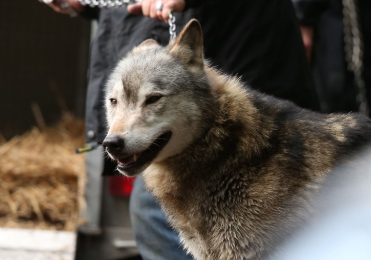 Wolf escapes as wind blows down fences in Berkshire