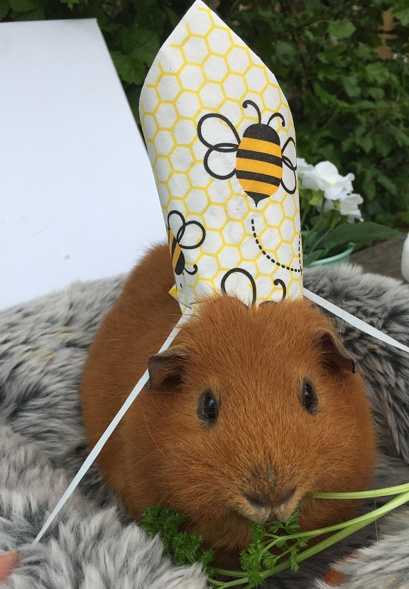 Guinea-Pig-royal-wedding-_100518--2-
