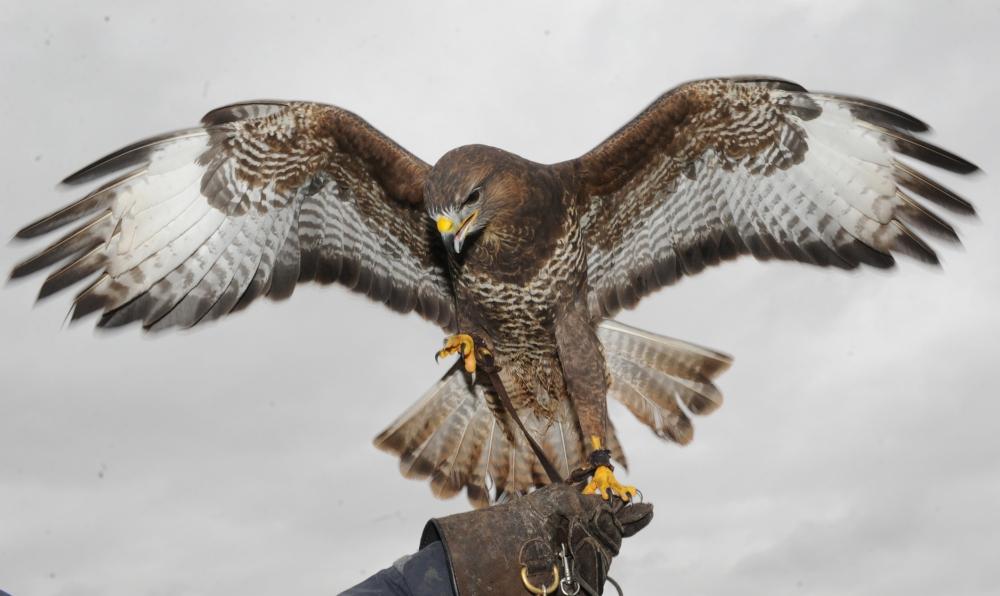 falcon-and-fur-_250518