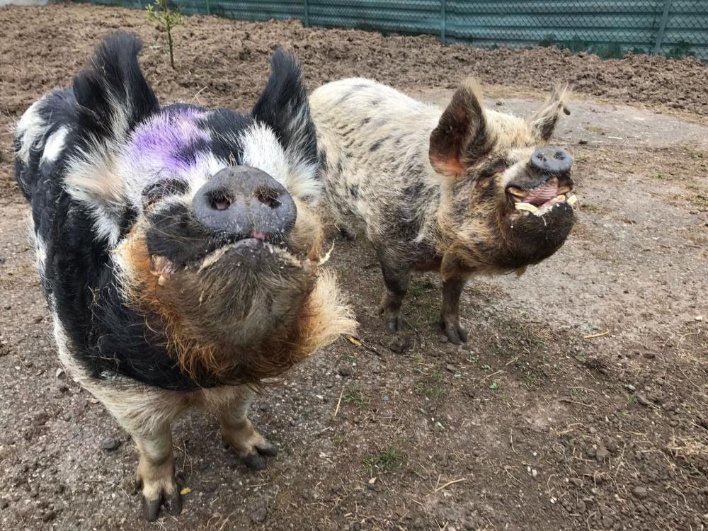 pigs-on-farm-_250518