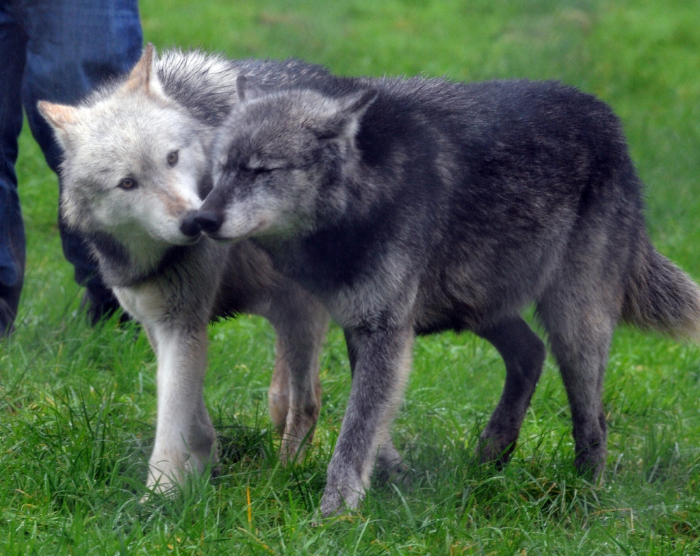 wolf-conservation-trust-_250518