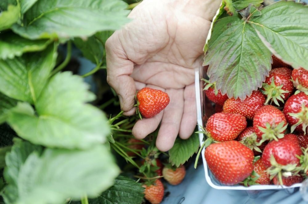 Strawberry-picking-_280618--2-