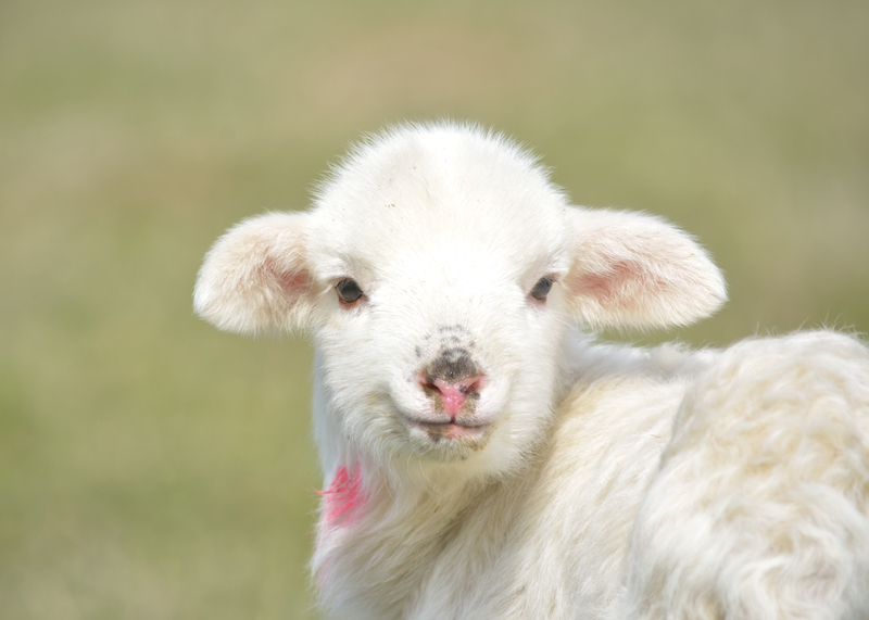 Brook-Court-residents-pet-lambs