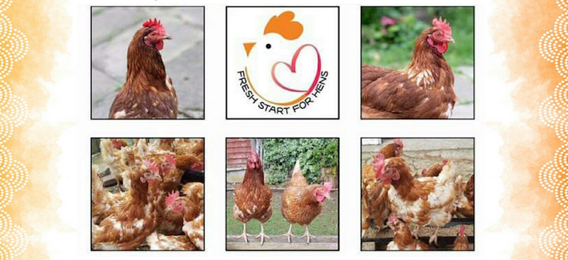 Alfreton-gives-hens-a--Fresh-Start--with-rehoming-initiative-