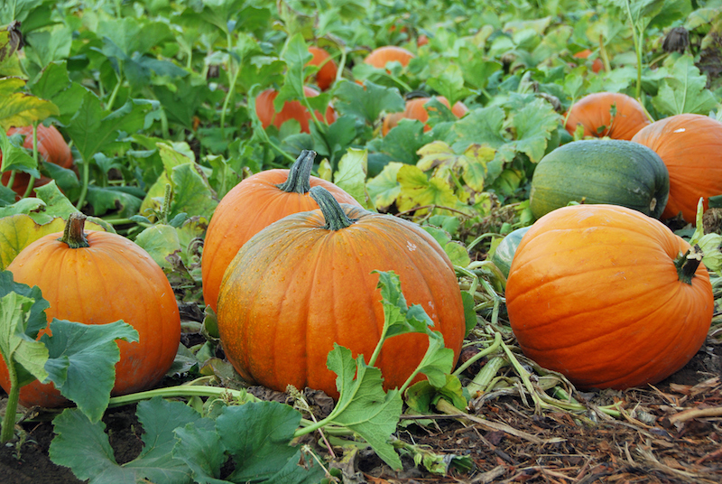 Go-pumpkin-picking-this-half-term-with-our-list-of-the-best-patches-across-the-UK19