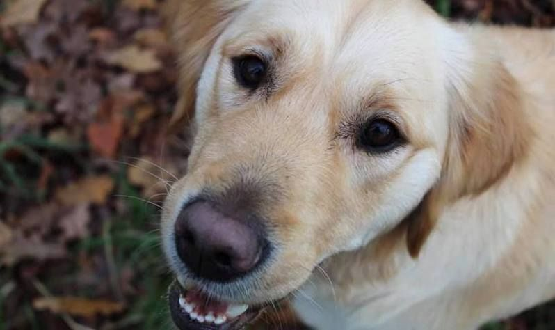 Guide Dogs says 'thank you' to volunteers housing trainee dogs in the South West