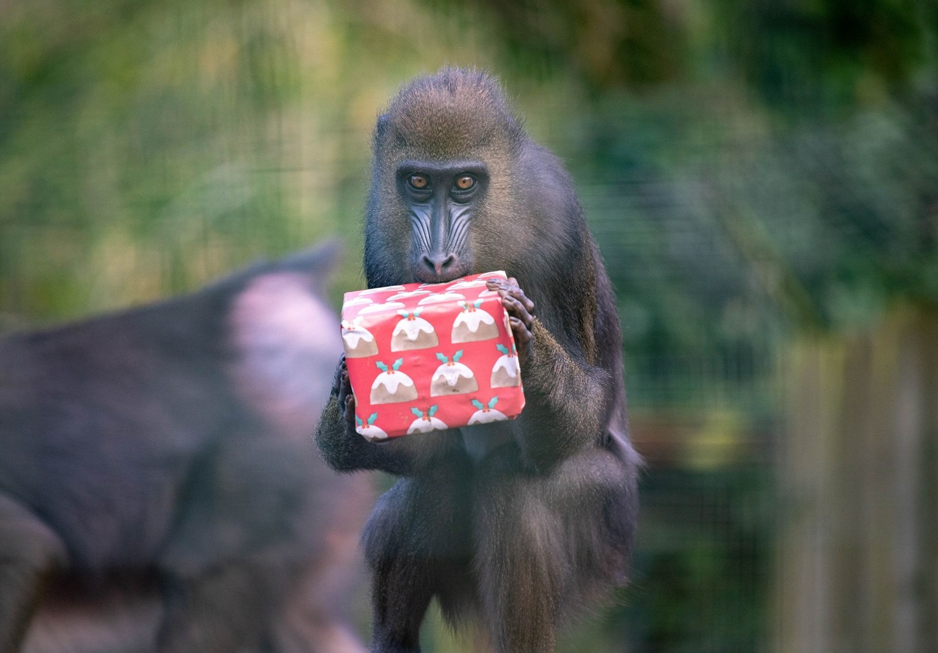 Paignton Zoo Animals Get To Grips With Their Christmas Gifts Inyourarea Community