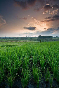 rice-paddies-bali_31638_600x450