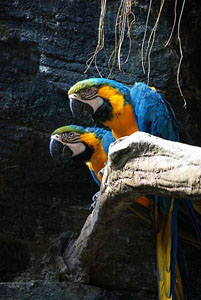 zblue-and-yellow-macaws_31636_600x450