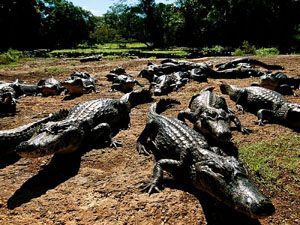 group-caimans_6644_600x450