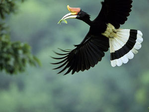 male-rhinoceros-hornbill_10832_600x450